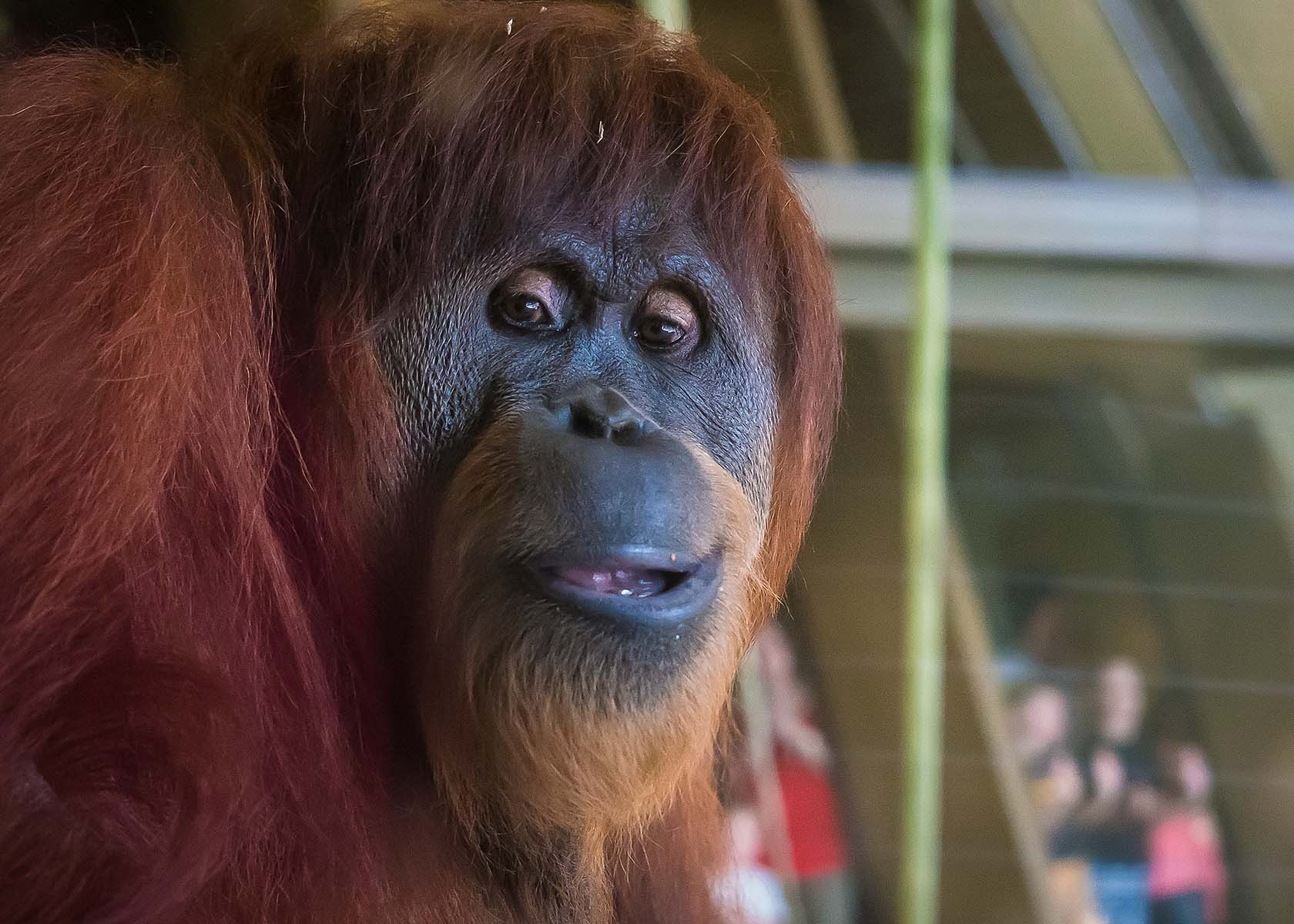 Orangutans - Barrington 1 -03426.jpg