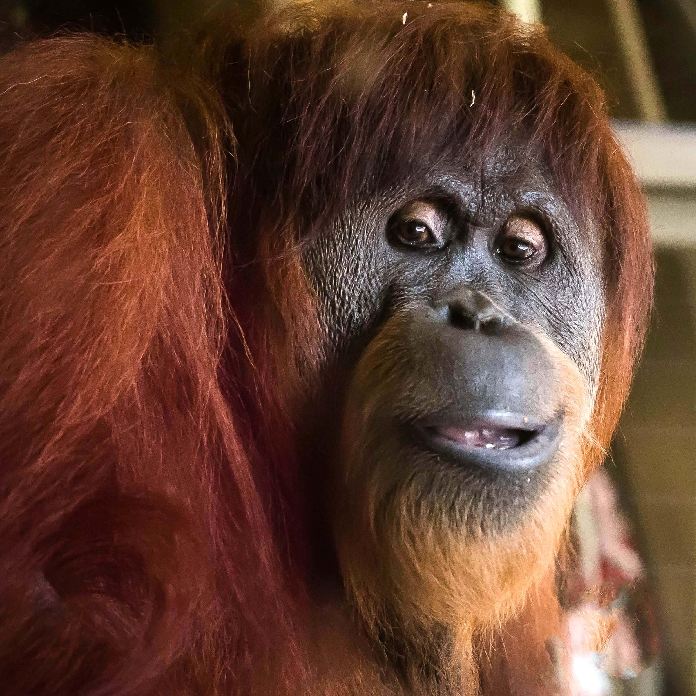 Orangutans - Barrington 2-03426.jpg
