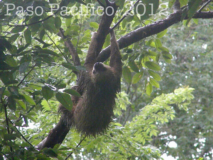 Sloth climbing its way out of the rain