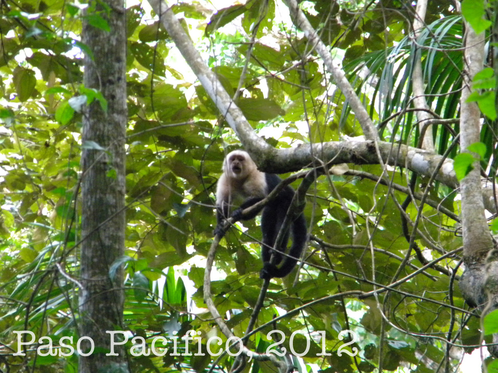 Territorial White-Faced Capuchin Monkey Acting Tough