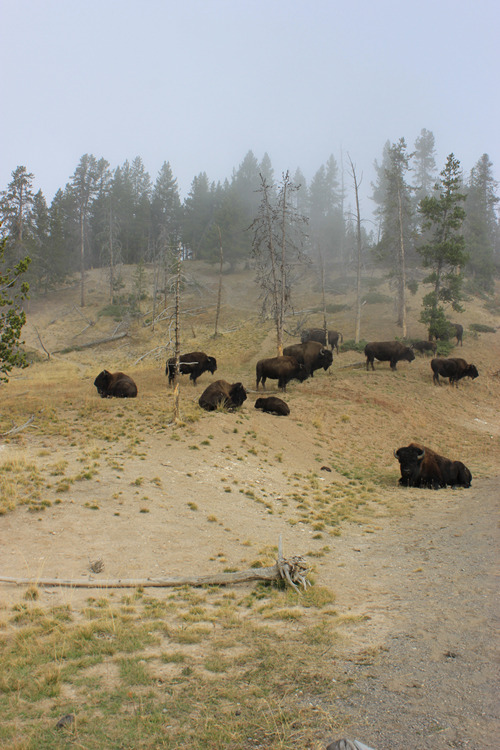 Group of bison seen everywhere in Yellowstone
