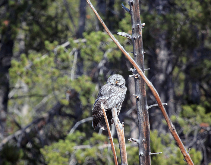 Great Grey Owl!