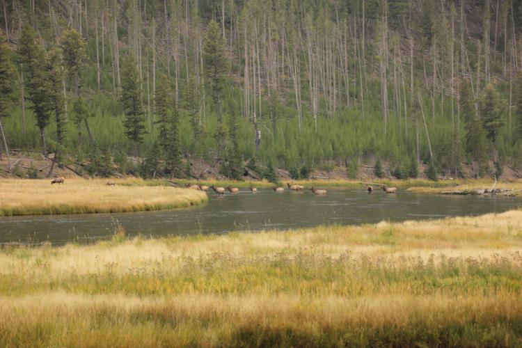 elk crossing a river