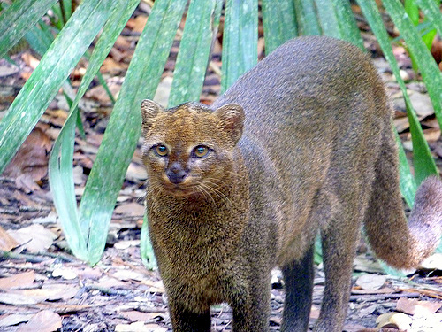 Jaguarundi (this image not captured on Miguel's remote camera)