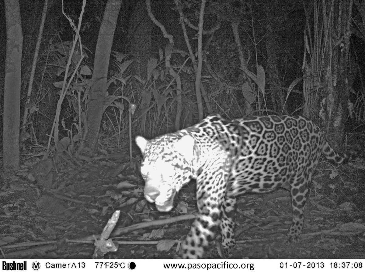 pp jaguar 2013_ordenana2.jpg