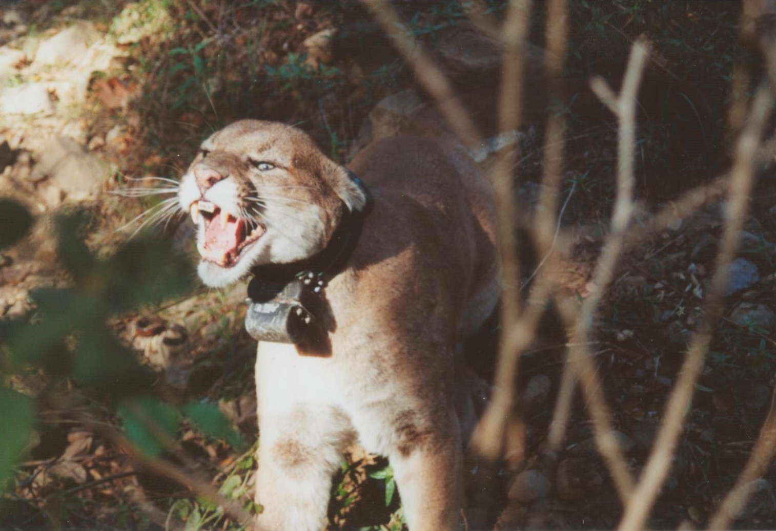 A photo of P01 at one of his captures. He is wearing a radiocollar in the photo and was recaptured to replace the collar.