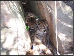 "A  photo of P02's litter and den site.  Mountain lions do not ""build""    dens, but instead use areas naturally available like rock crevices to    protect their litter of young."