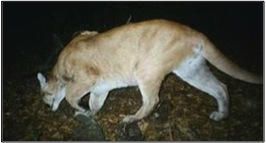 One of the first photos of a mountain lion in the Santa Monica Mountains taken in 2002.