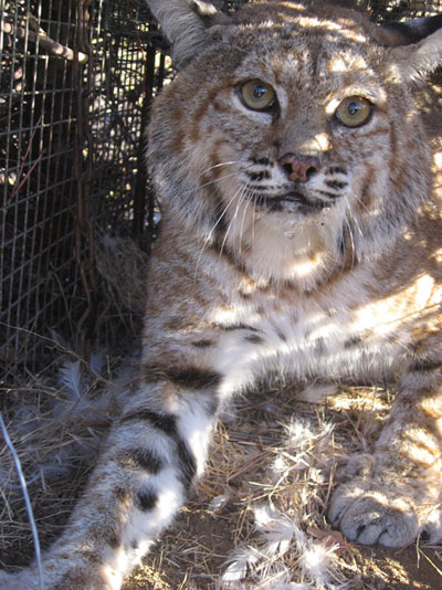 A photo of B250 on August 27, 2010 when he was humanely captured as part of the bobcat disease susceptibility project through UCLA. He was released on site after samples were collected.