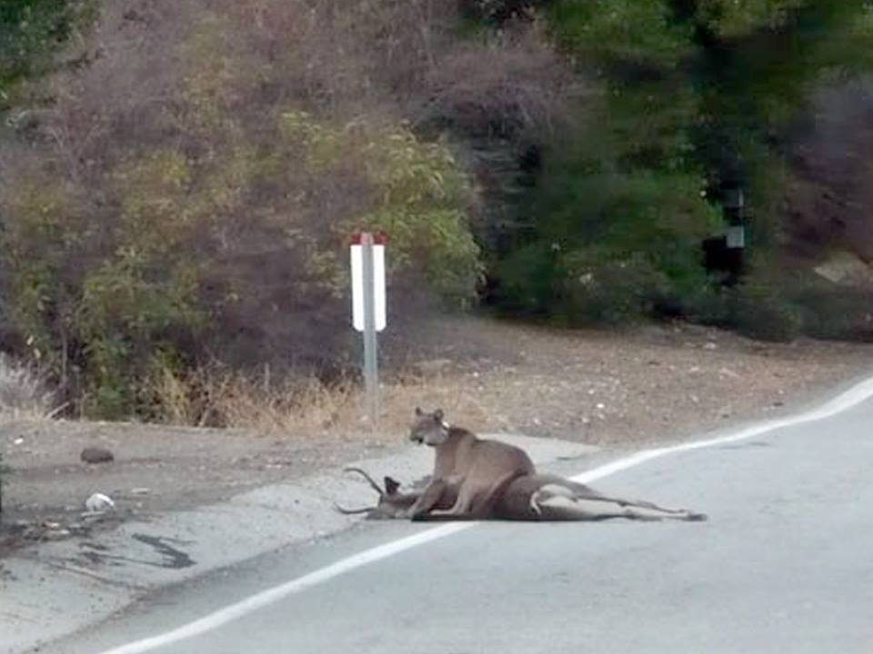 P23 with a male deer she'd killed at Mulholland Highway. This picture was taken by cyclists who were lucky to stumble upon the scene!