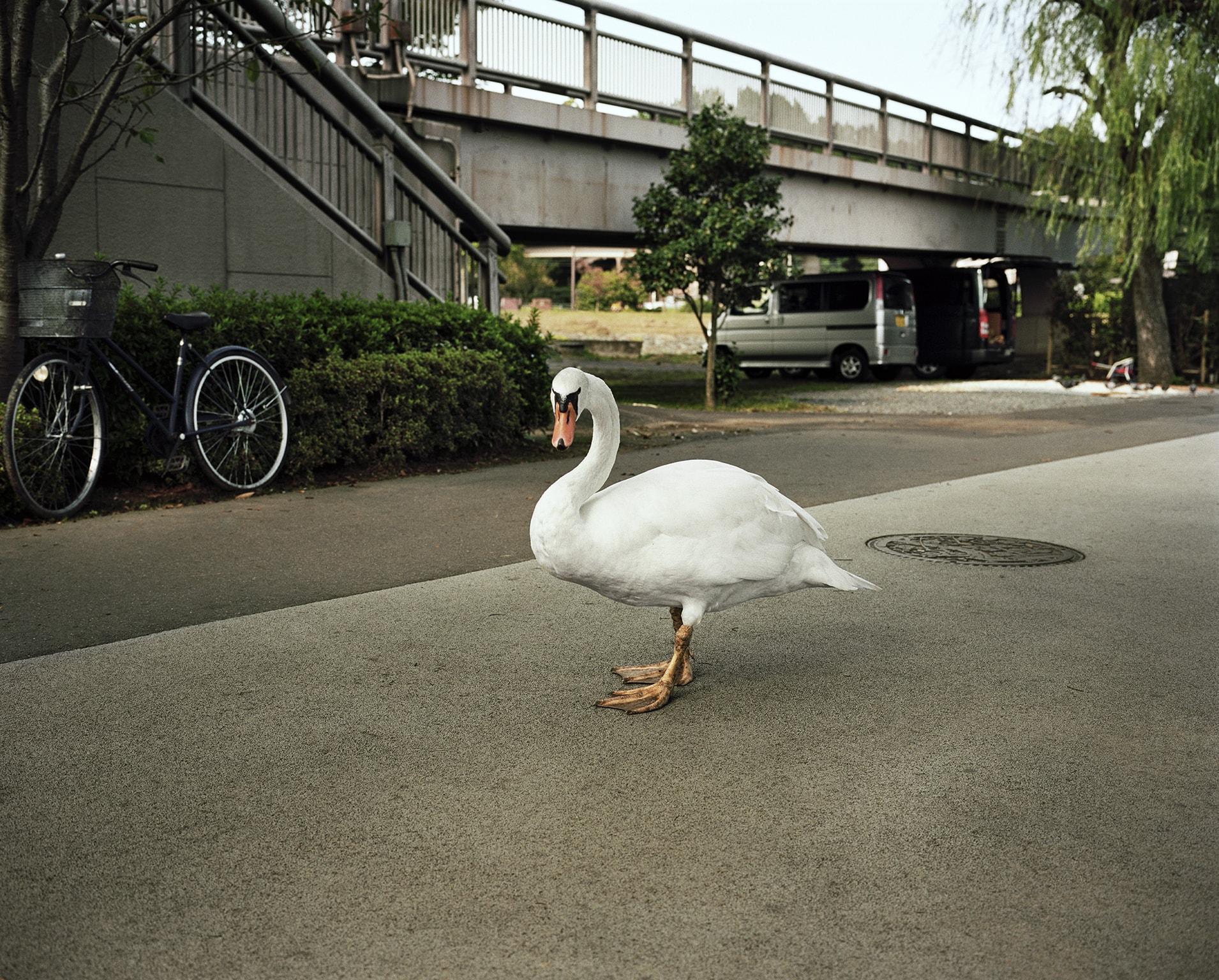 Swan, Japan