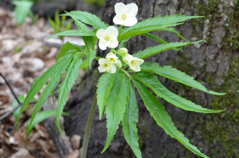 Dentaria di Kitaibel;  Cardamine kitaibelii  (Brassicaceae). Foto: S. Mangili
