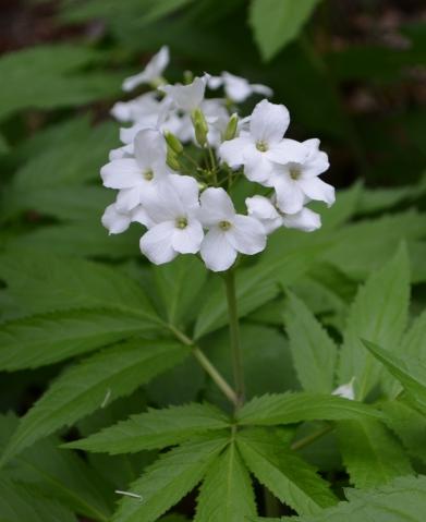 Dentaria pennata; Cardamine heptaphylla (Brassicaceae)