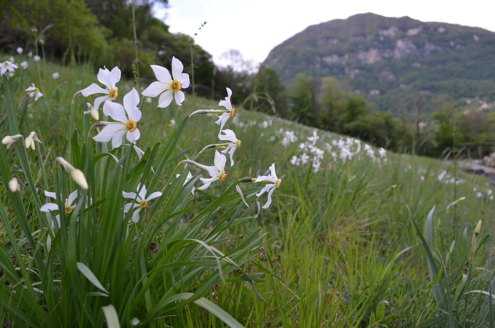 Narciso del Lago Maggiore; Narcissus x verbanensis (Amaryllidaceae)