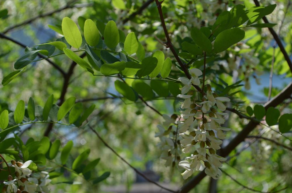 Robinia  ;    Robinia pseudoacacia    (  Fabaceae  )