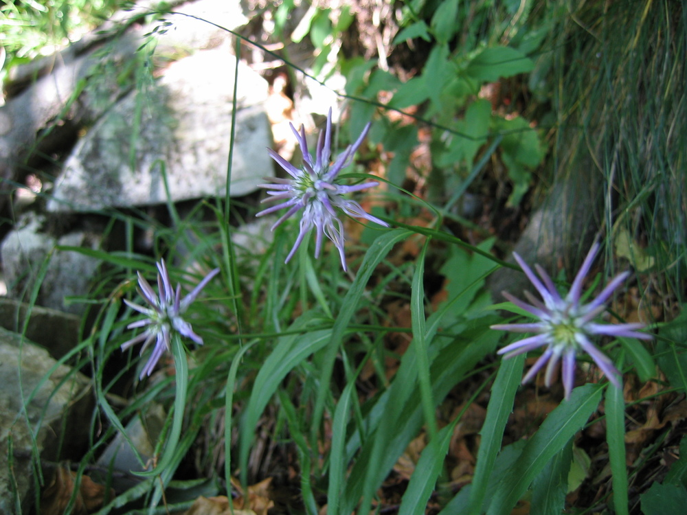 Raponzolo di Scheuchzer, Phyteuma scheuchzeri (Campanulaceae)