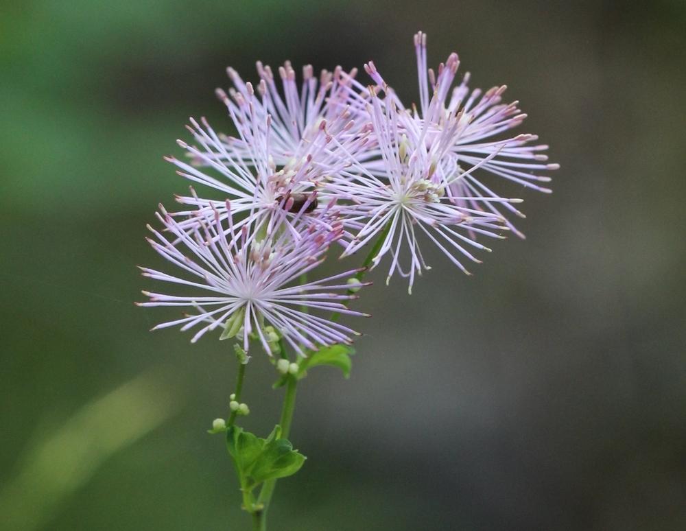 Pigamo colombino, Thalictrum aquilegiifolium (Ranunculaceae)