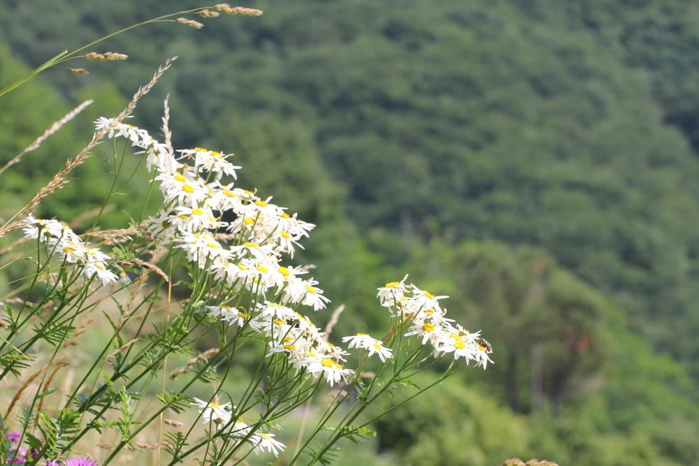 Erba amara dei boschi,Tanacetum corymbosum(Asteraceae)