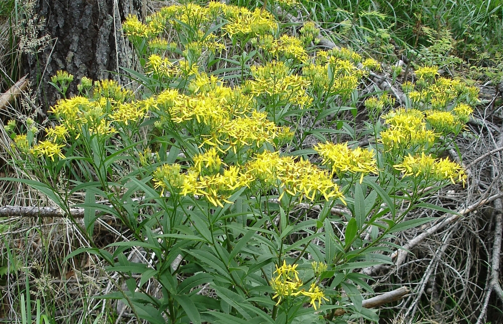 Senecione di Fuchs, Senecio ovatus (Asteraceae)