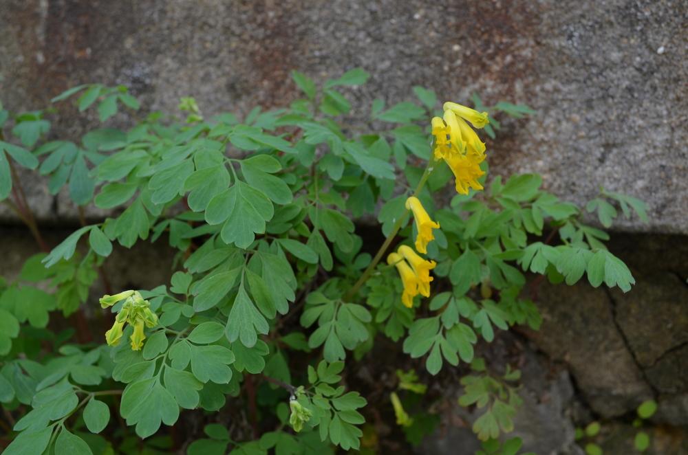 Colombina gialla, Corydalis lutea (Papaveraceae)