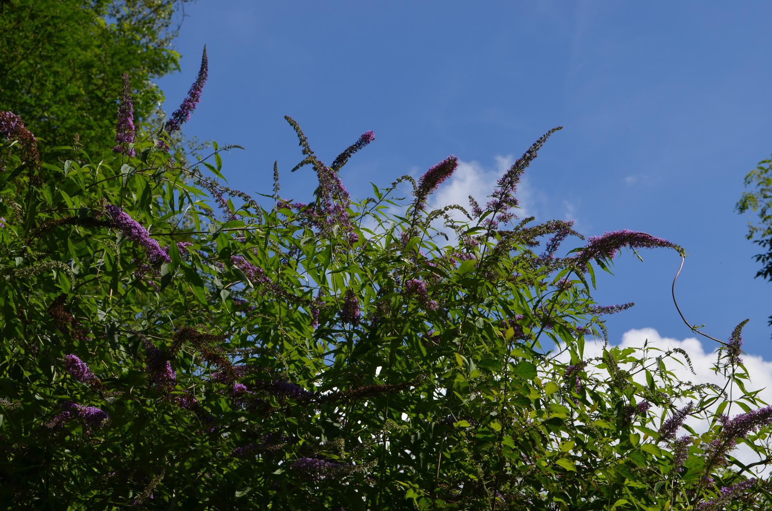 Buddleja,    Buddleja davidii    (  Scrophulariaceae)    Origine:  Cina