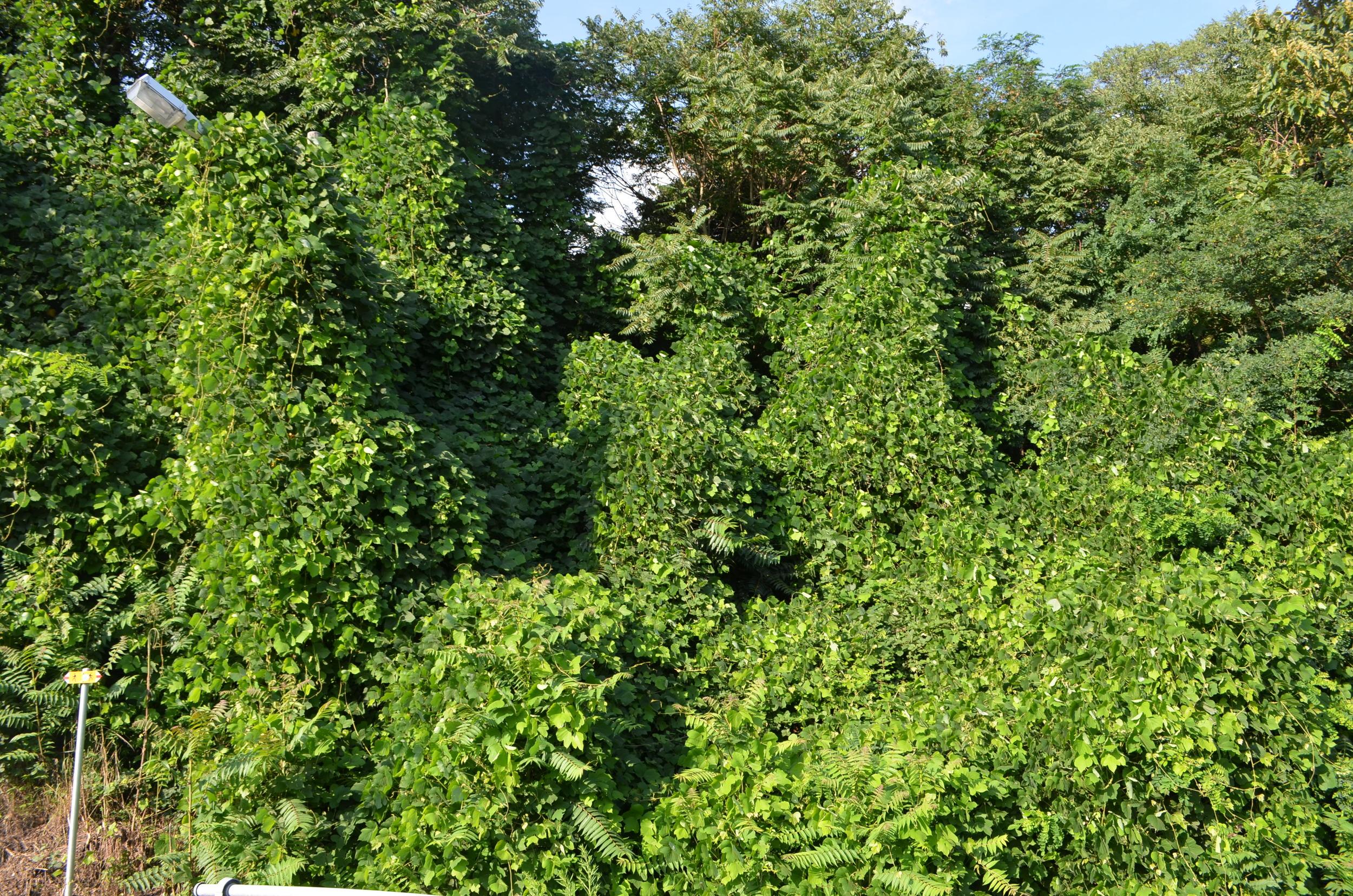Pueraria irsuta,  Pueraria lobata  (Fabaceae)    Origine:  Cina, Corea, Giappone e Tailandia