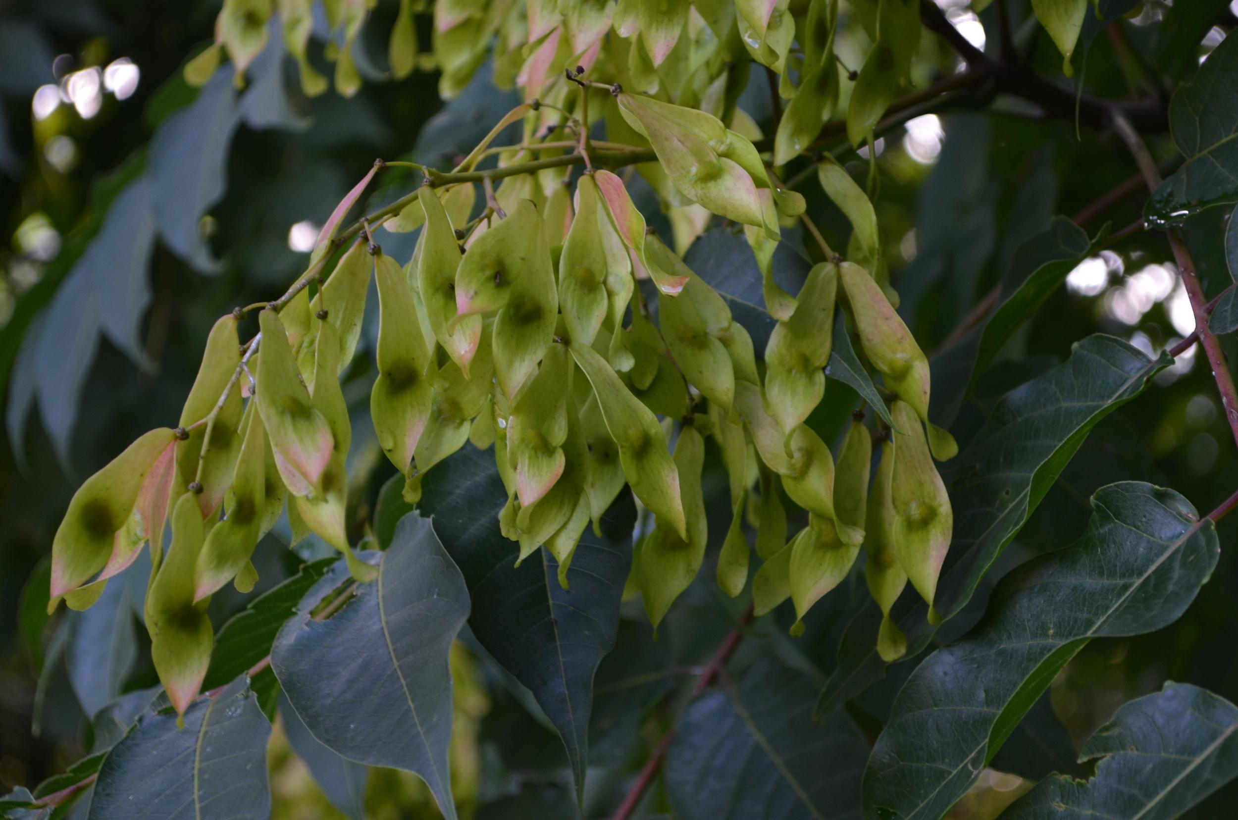 Ailanto,  Ailanthus altissima  (Simaroubaceae)    Origine:  Cina