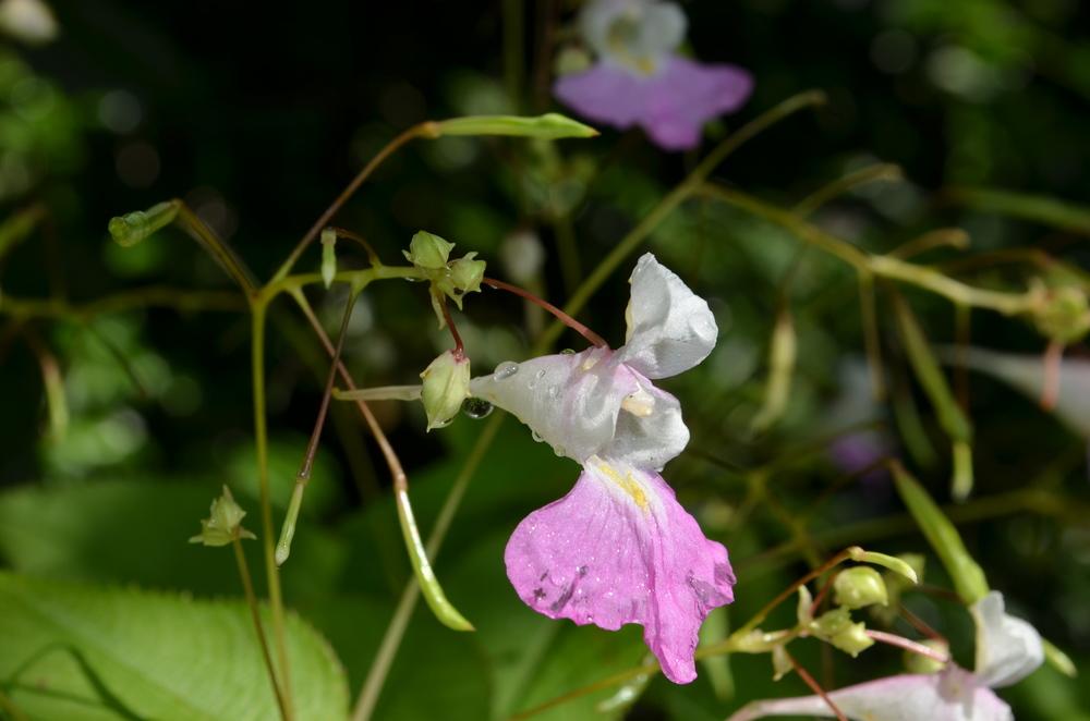 Balsamina di Balfour,  Impatiens balfourii  (Balsaminaceae) Origine: Himalaya