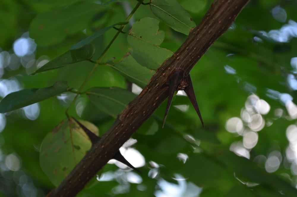 Robinia,  Robinia pseudoacacia  (Fabaceae) Origine: America settentrionale