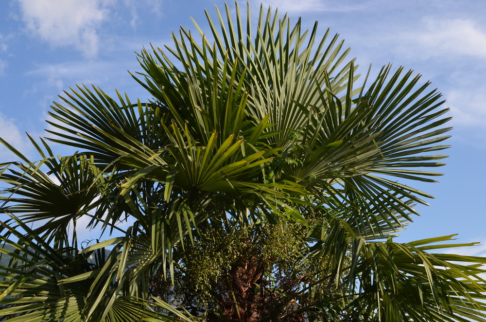 Palma di Fortune,  Trachycarpus fortunei  (Arecaceae) Origine: Cina e Myanmar