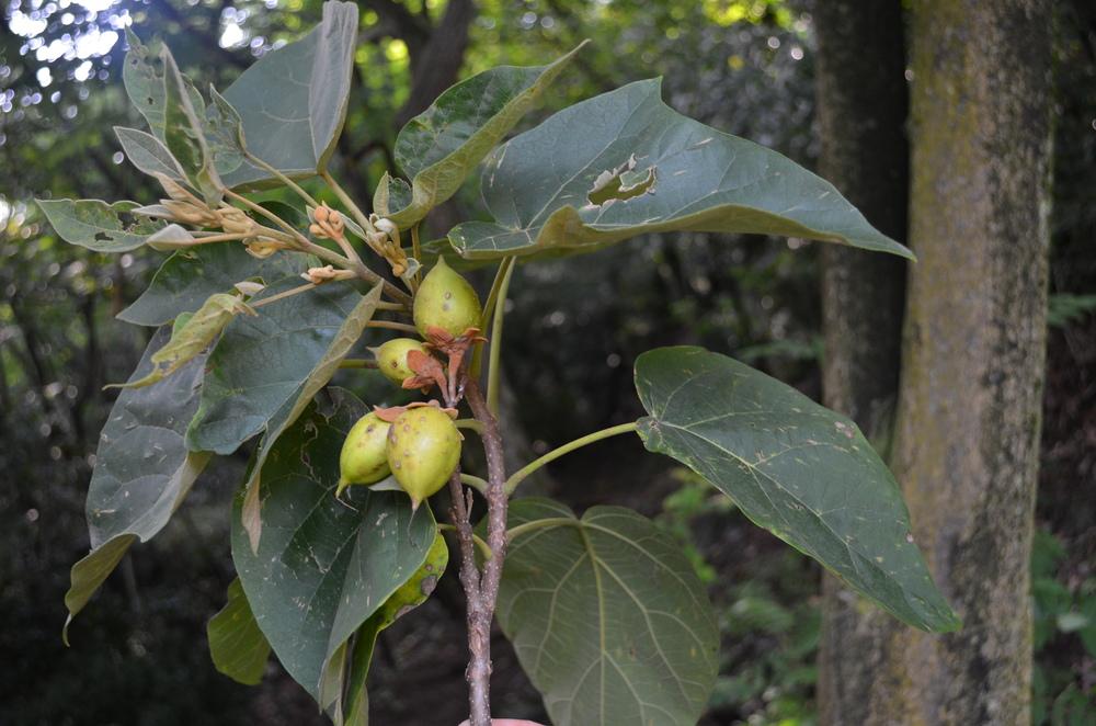 Paulownia,  Paulownia tomentosa  (Paulowniaceae) Origine: Cina