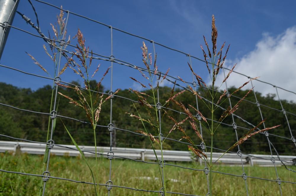 Sorgo selvatico,  Sorghum halepense  (Poaceae) Origine: Africa settentrionale
