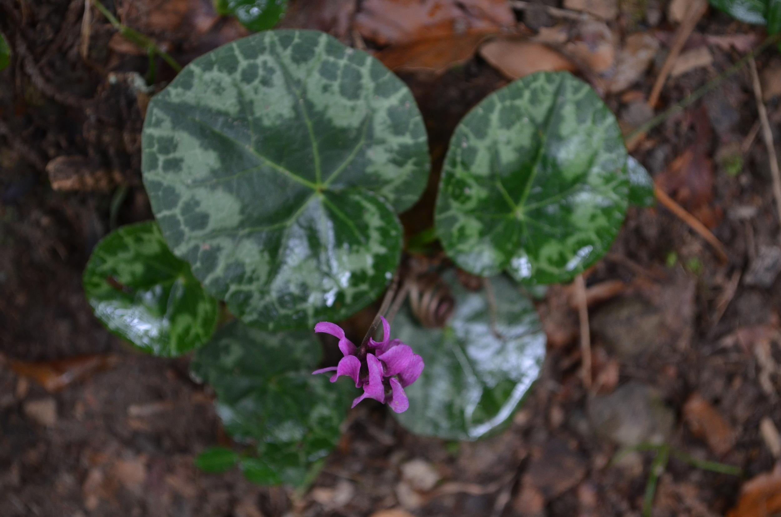 Ciclamino delle Alpi,  Cyclamen purpurascens  (Primulaceae)