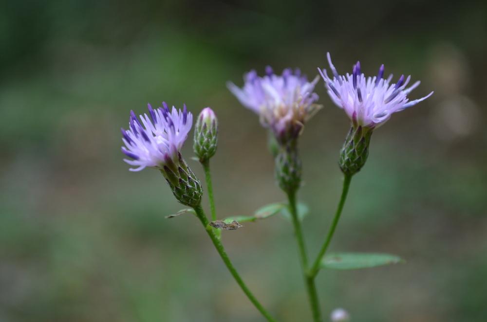 Cerretta comune,  Serratula tinctoria  s. str. (Asteraceae)
