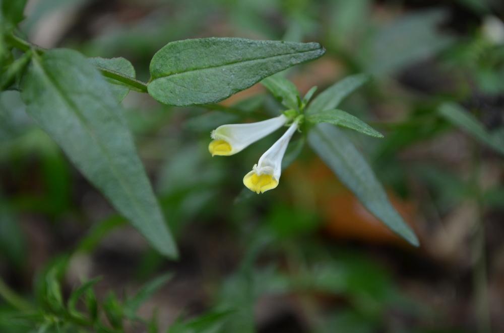 Spigarola bianca,  Melampyrum pratense  (Orobanchaceae)