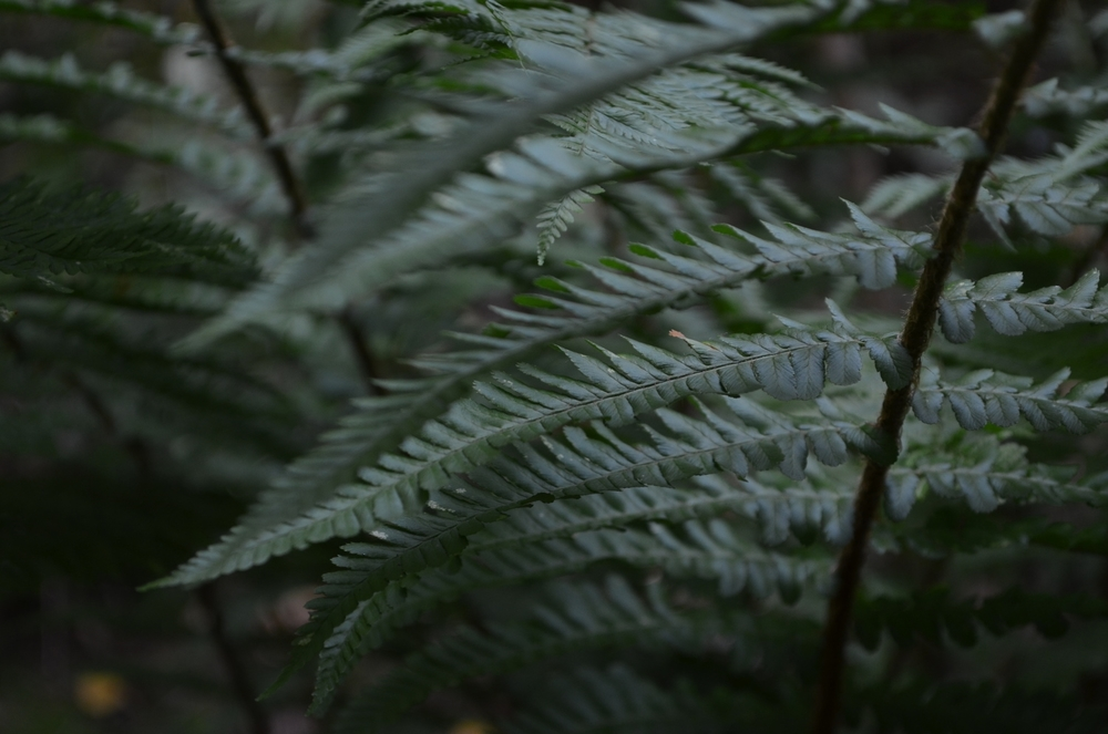 Felce maschio,  Dryopteris filix-mas  (Dryopteridaceae)