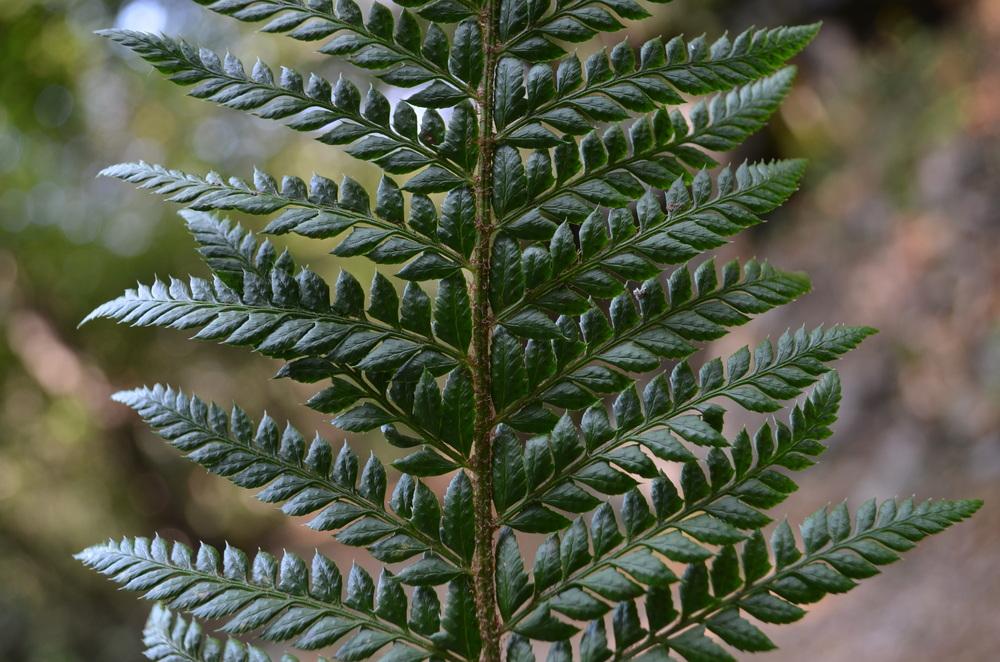 Felce aculeata,  Polystichum aculeatum  (Dryopteridaceae)