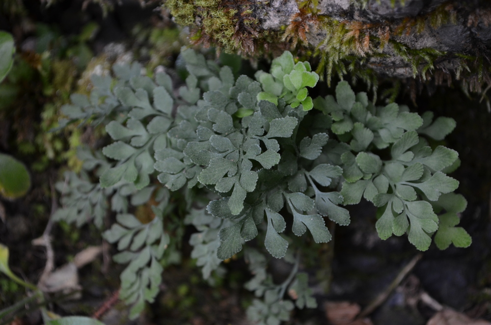 Asplenio ruta di muro,  Asplenium ruta-muraria  (Aspleniaceae)