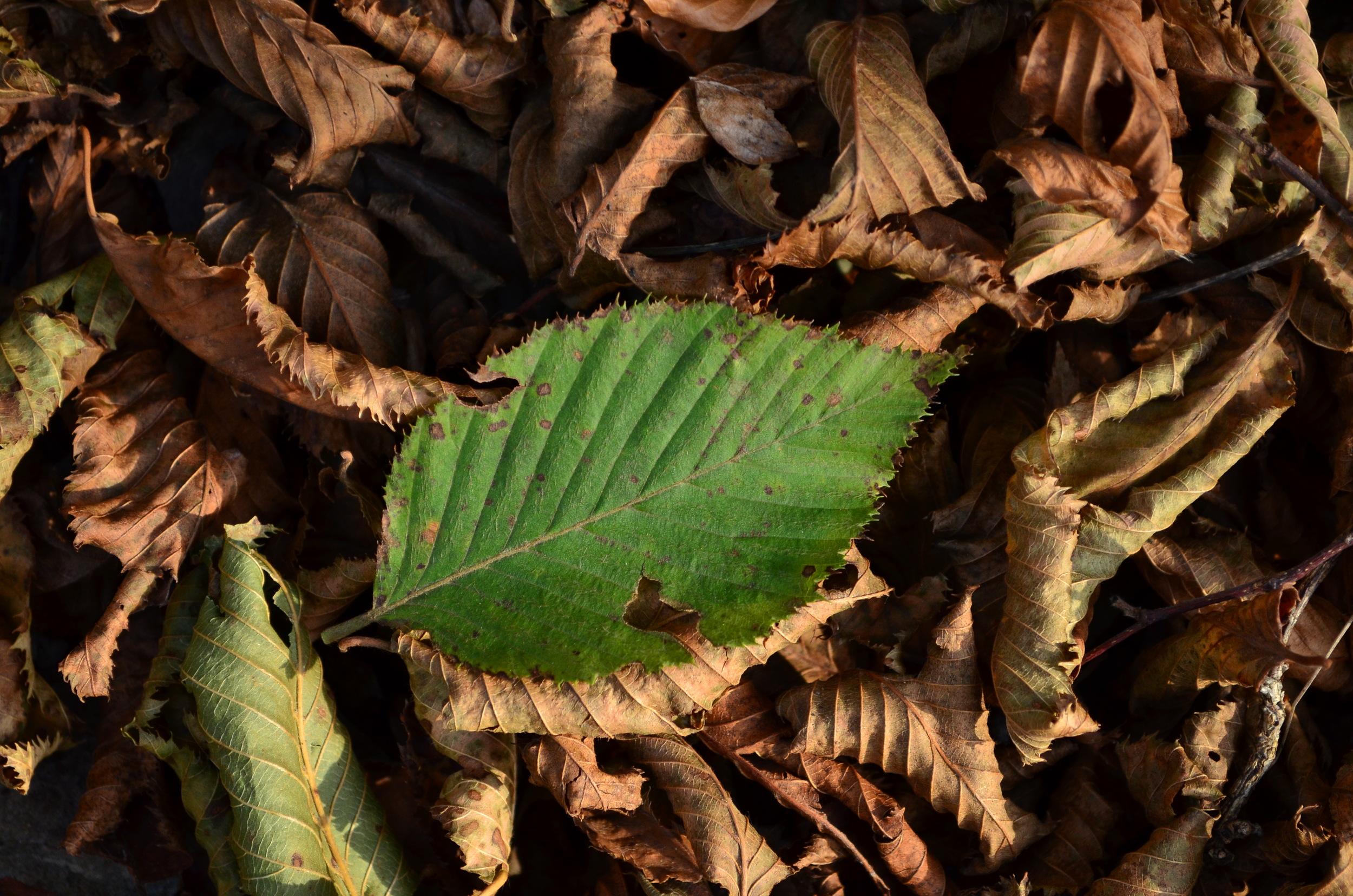Carpino nero,  Ostrya carpinifolia  (Betulaceae)