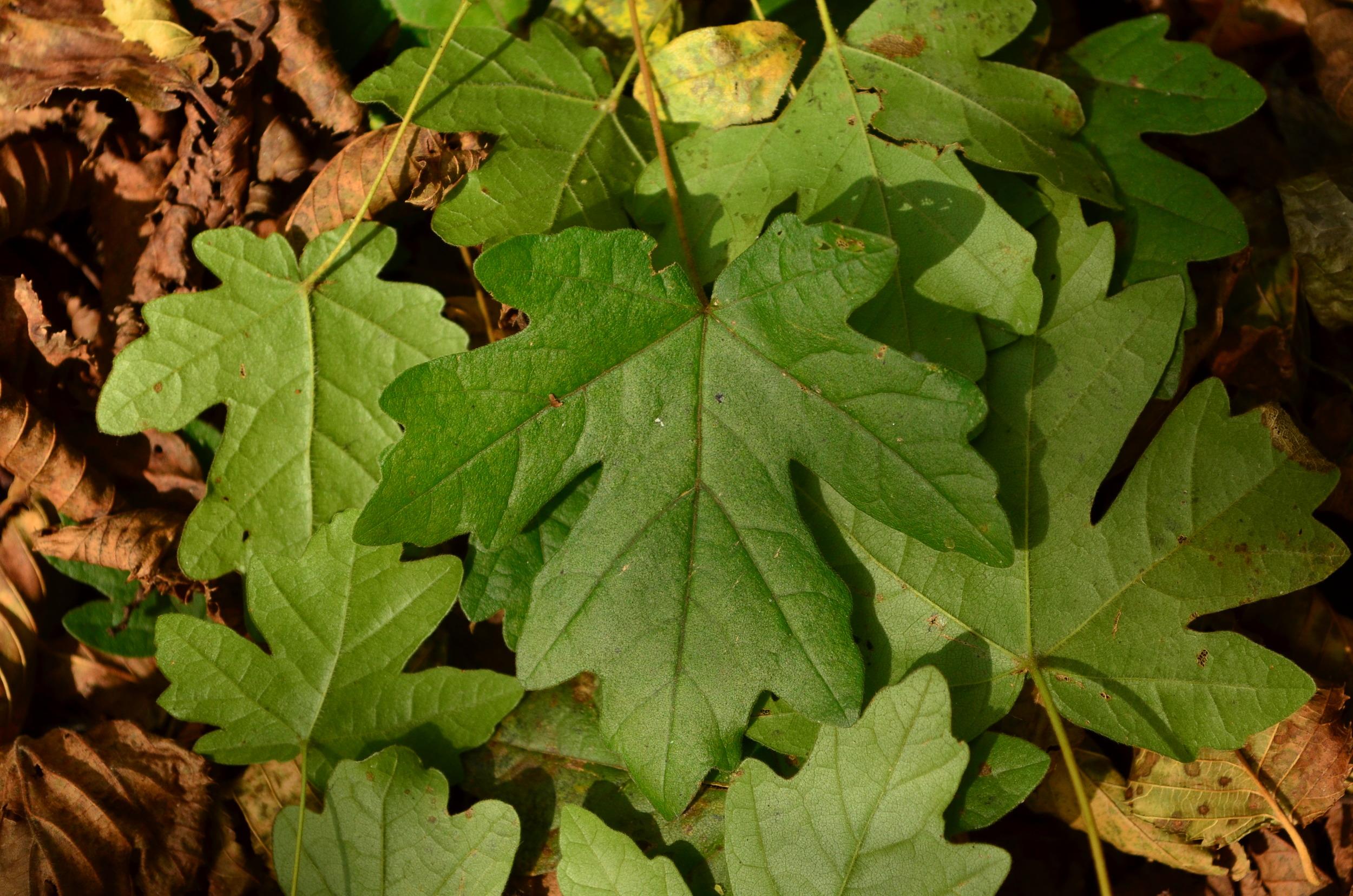 Acero oppio,  Acer campestre  (Sapindaceae)