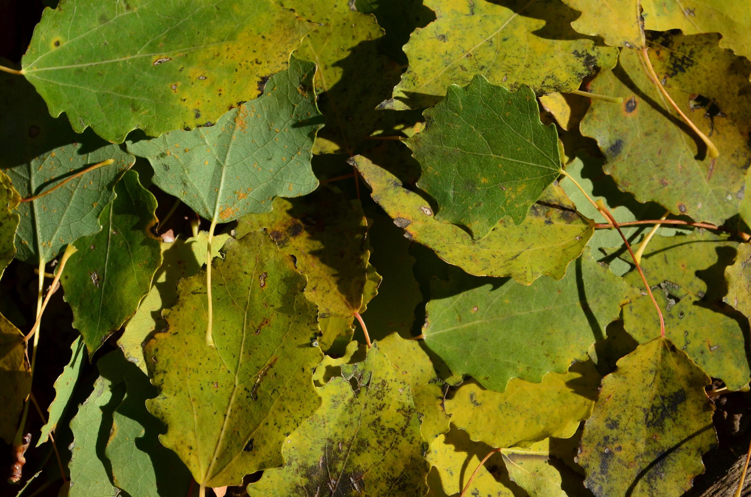 Pioppo tremula,  Populus tremula  (Salicaceae)