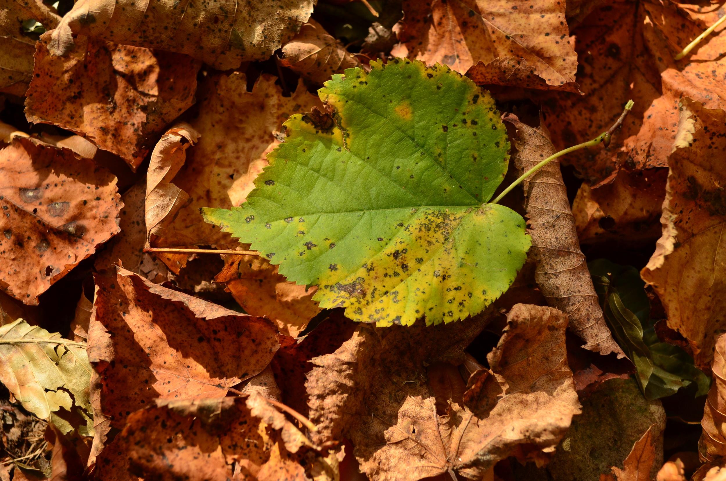 Tiglio selvatico,  Tilia cordata  (Malvaceae)