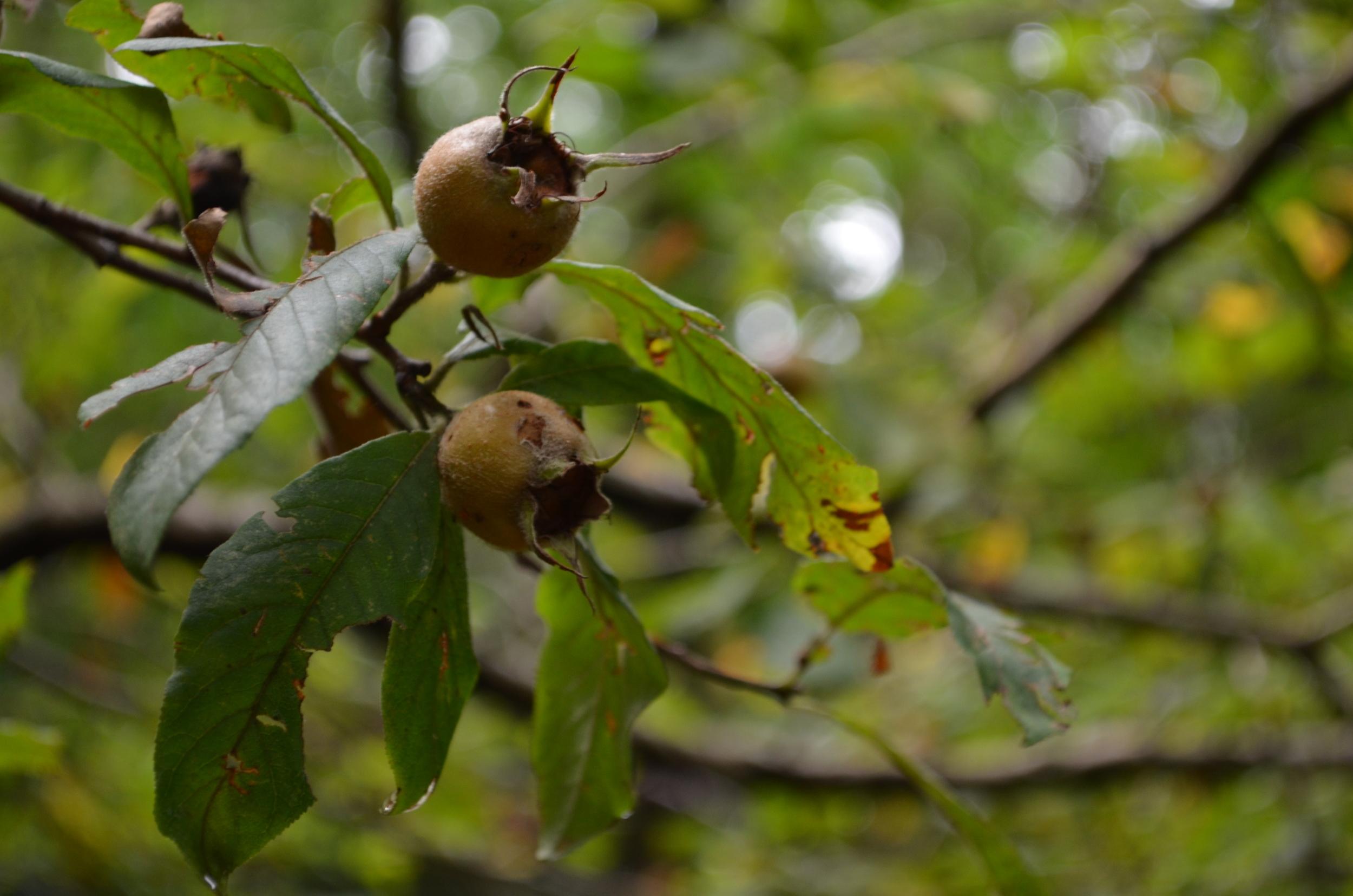 Nespolo volgare,  Mespilus germanica  (Rosaceae)