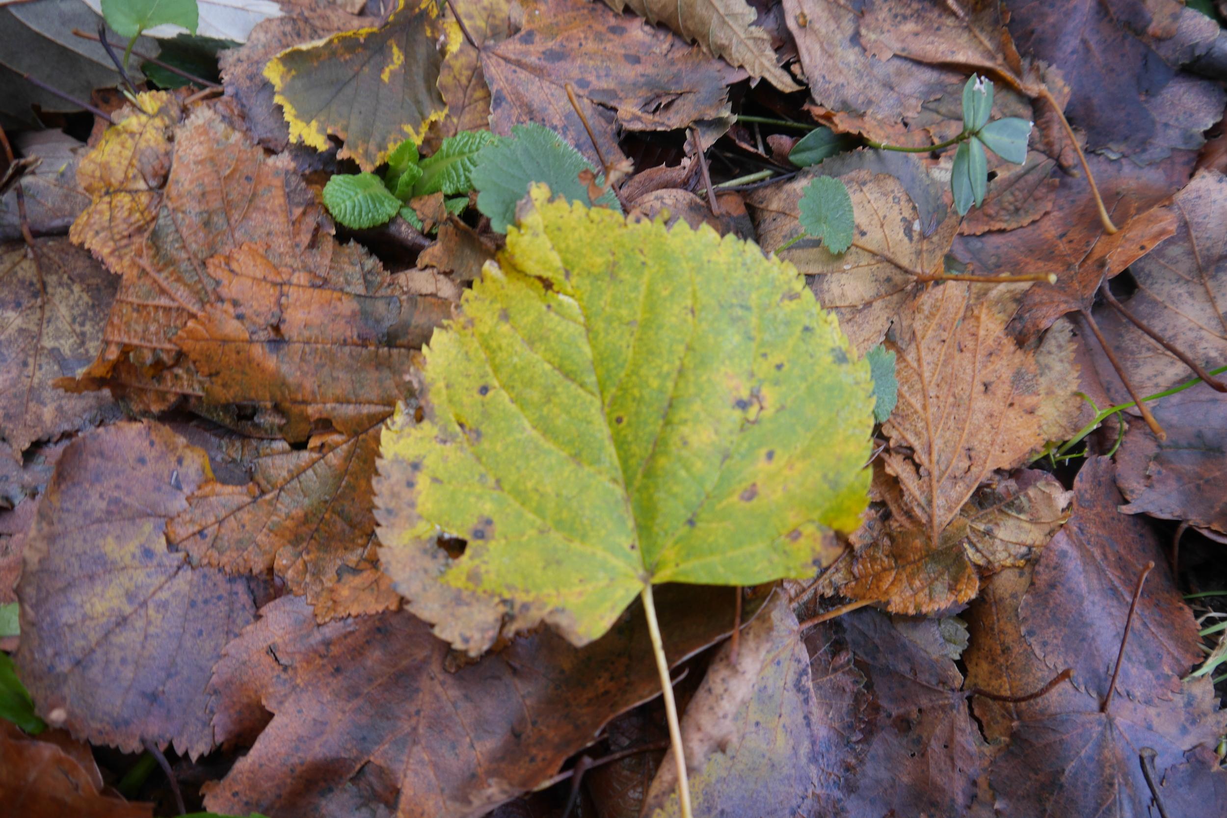 Tiglio selvatico,  Tilla cordata  (Malvaceae)