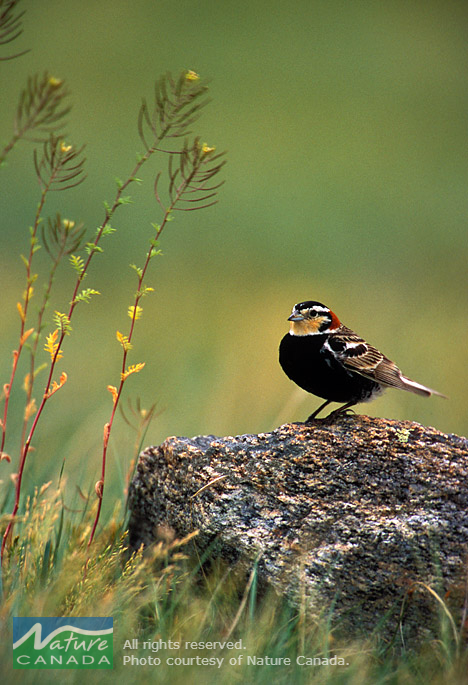 Several Species at Risk at CFB Suffield prefer reduced vegetation structure caused by training activities. Examples of this include chestnut-collared longspurs, which are more abundant in areas that have burned recently. Photo provided by : Nature Canada