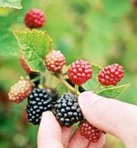 berriez.png
