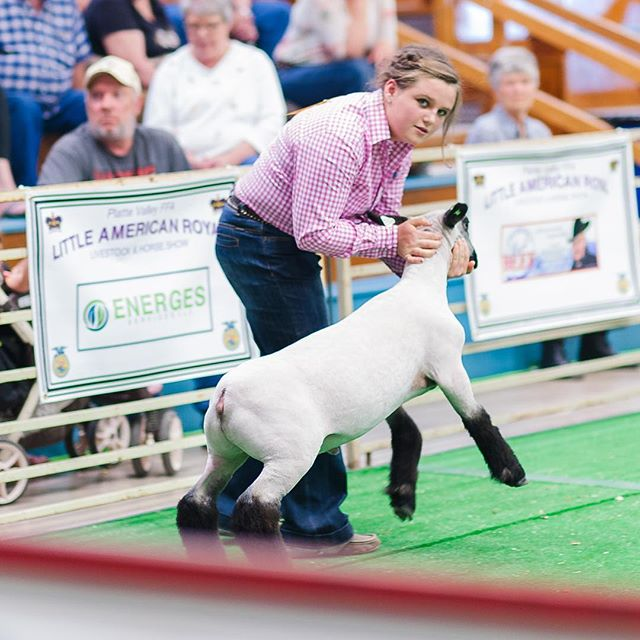 This is the why did you make me bring an un-broke sheep look. 👀 #stockshowlife #iflookscouldkill