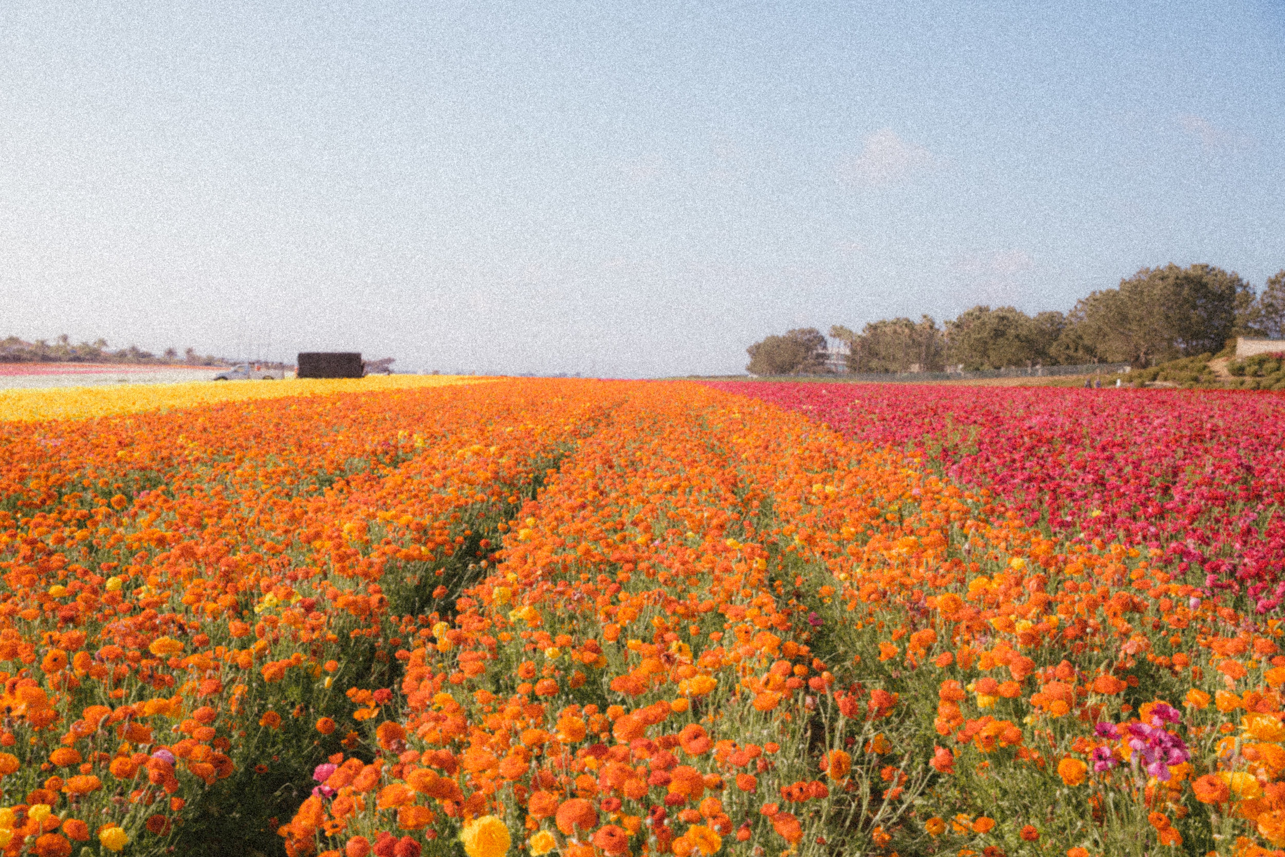 FLOWER_FIELDS-54.jpg