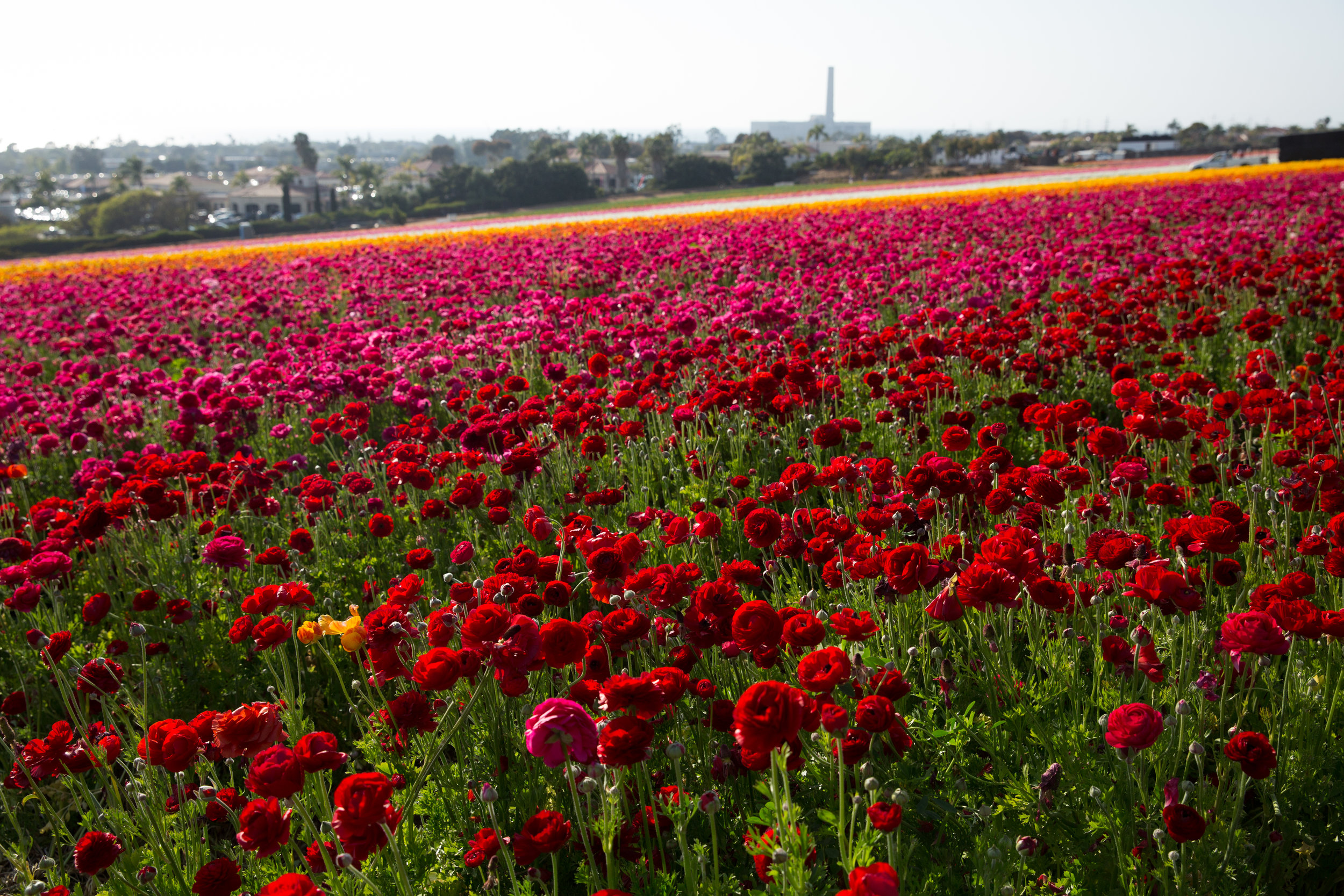 FLOWER_FIELDS-59.jpg