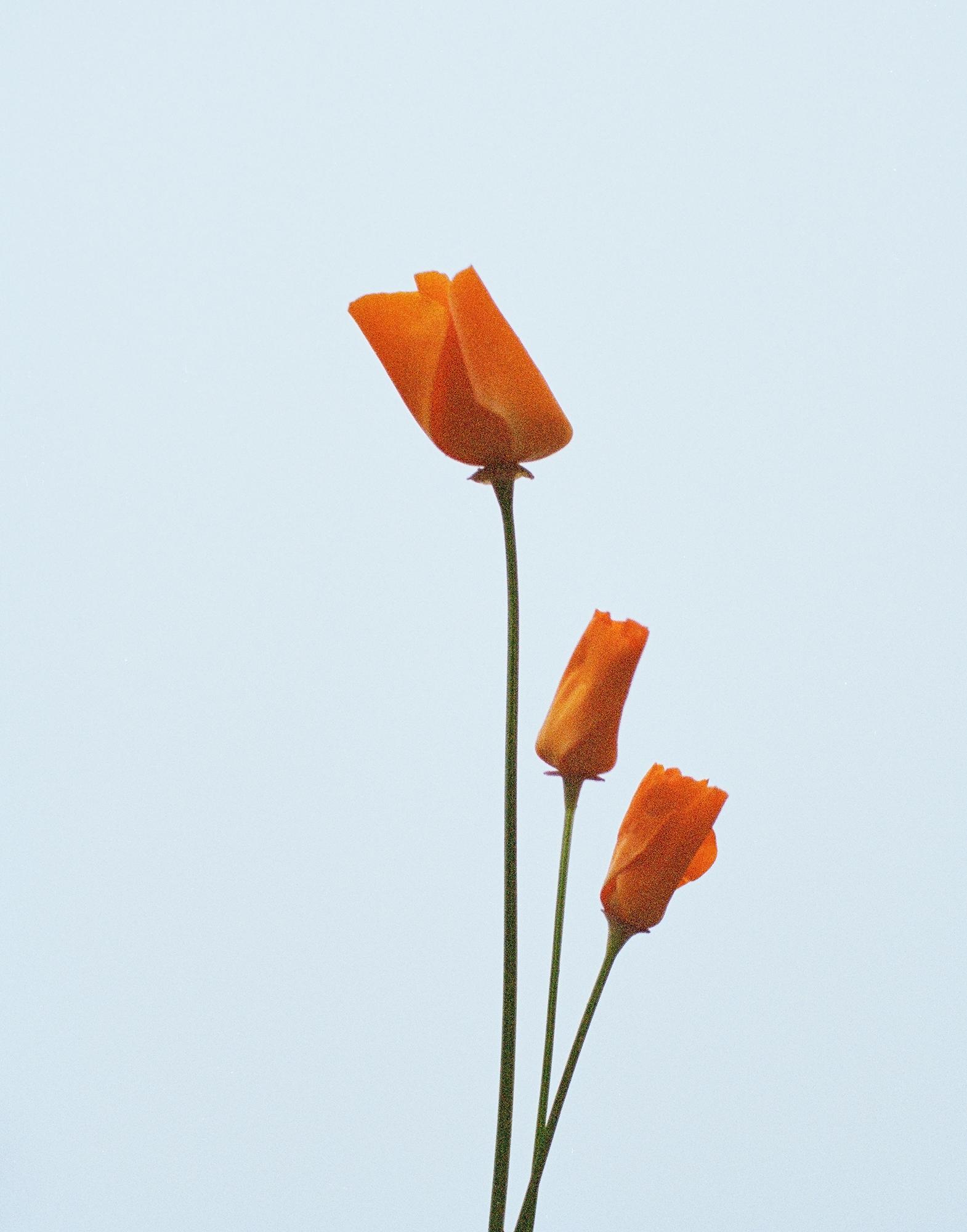 poppy2_web.jpg
